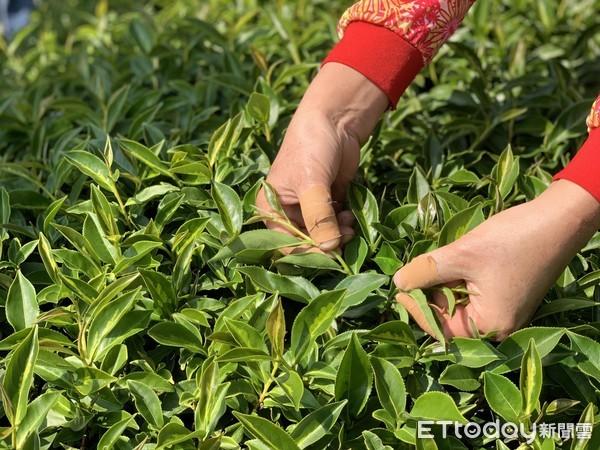 瓶裝茶也很講究!南投茶廠「製茶流程」大公開 好茶全靠「3關鍵」 | ET