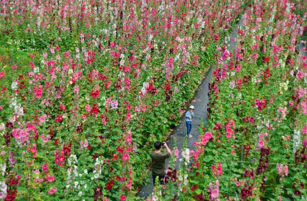4月兒童連假這樣玩!彰化必去景點 走進蜀葵花迷宮、七彩雨傘巷 | ETt
