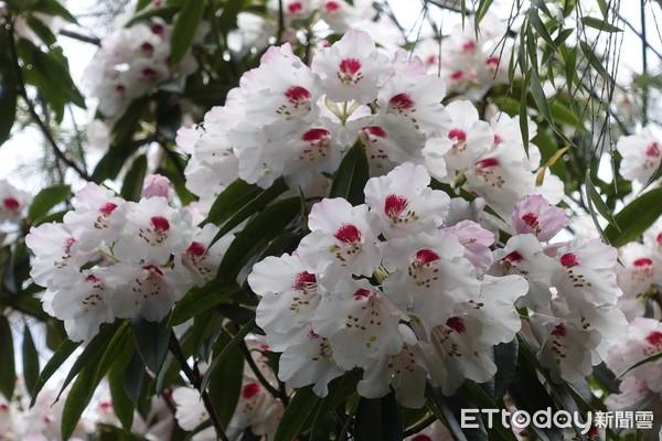 塔塔加玉山杜鵑怒放ing 賞花熱點最佳花期看這裡!抬頭秒見唯美 | ET