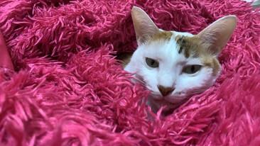 你知道嗎?曾患泌尿道疾病的貓貓復發率高達5成!醫:用對工具99%的貓咪不