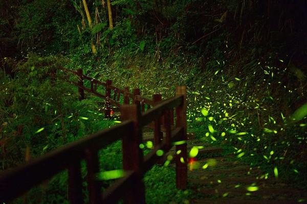 螢火蟲大爆發!特搜阿里山「10大賞螢點」 綠色星光點亮車站超夢幻   E