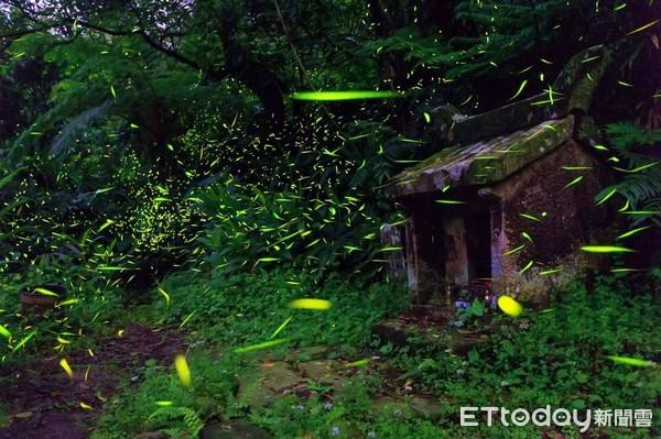 螢火蟲復育有成野放7000隻幼蟲 新北62處賞螢資訊報你知 | ETto