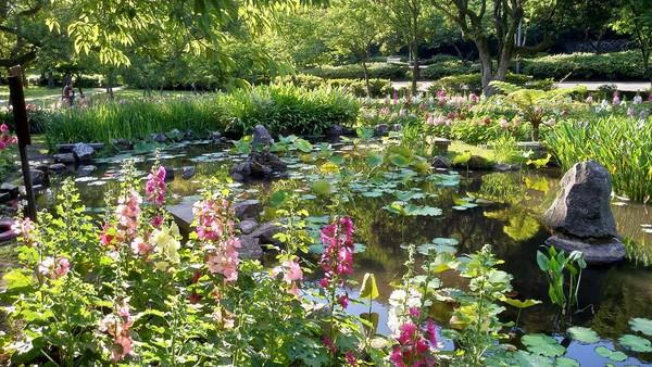 美到6月!陽明山秘境首度種「矮蜀葵」花瓣映池水如在莫內畫中 | ETto