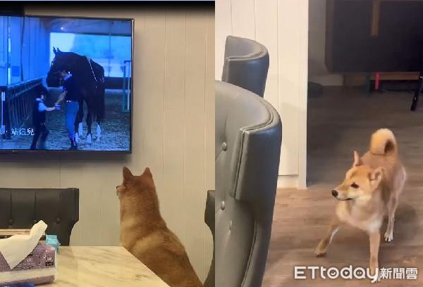 柴犬「搖滾區追劇」被罵! 敷衍換位網笑翻:電視兒童 | ETtoday寵