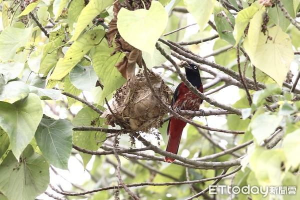 朱鸝護雛驅趕黃鸝 多種保育鳥種現身台南水道 | ETtoday寵物雲|