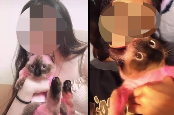 暹羅貓被染成粉紅色只因「不喜歡長大毛色」 網心急求救