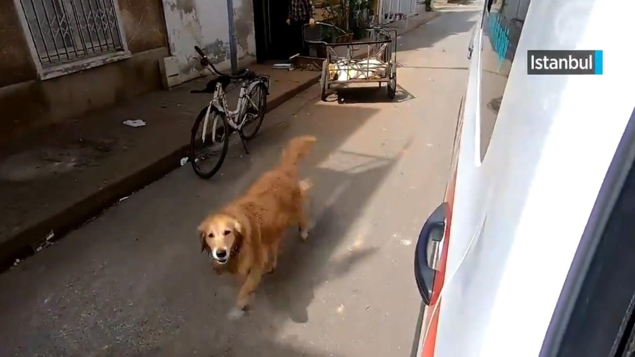 ▲▼黃金獵犬見主人上救護車,狂奔追到醫院。(圖/翻攝自twitter/ANADOLU AGENCY)