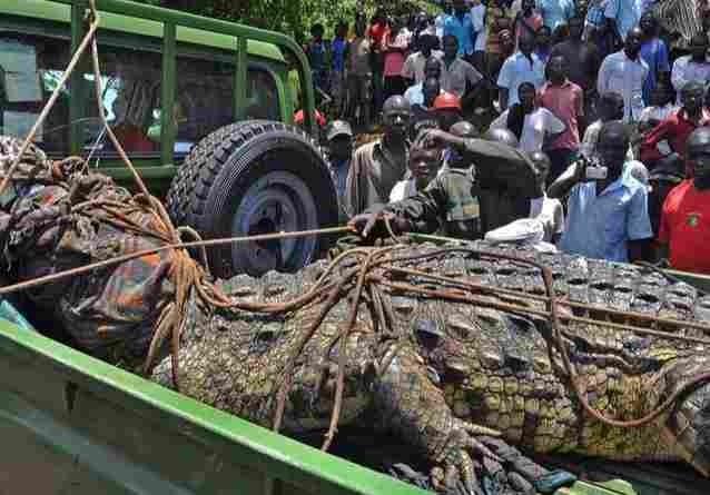 ▲▼巨鱷奧薩瑪被抬上貨車,送給鱷魚繁殖場。(圖/翻攝自sweeterearners)