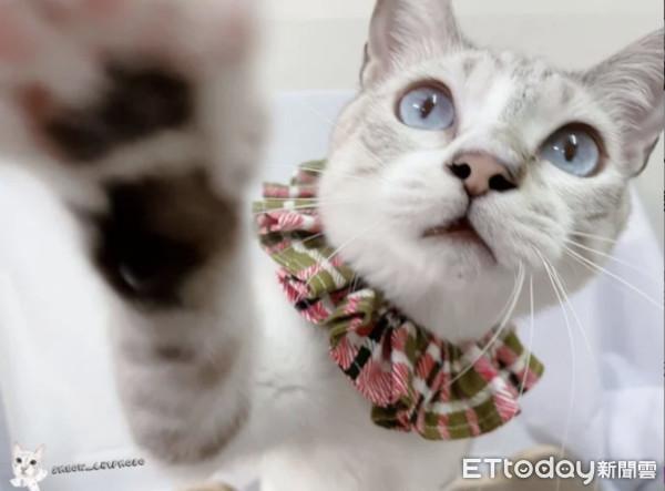 ▲領養乾扁醜毛貓!用愛養1年「藍眼飄仙氣」美呆上千網:中大獎了。(圖/IG「5meow _chipmodo」提供,請勿隨意翻拍,以免侵權。)