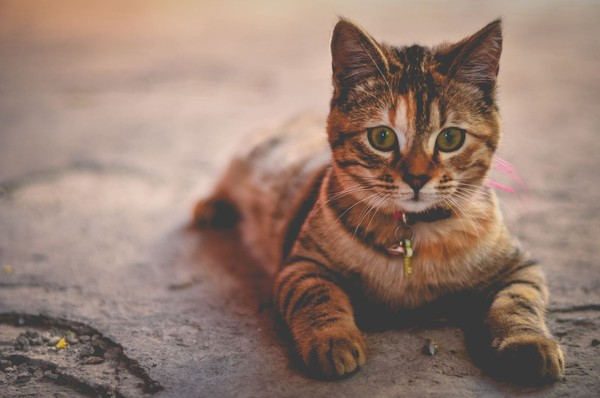 東京大學貓咪腎臟病缺研究經費 兩天獲3000萬日圓捐款 | ETtoda
