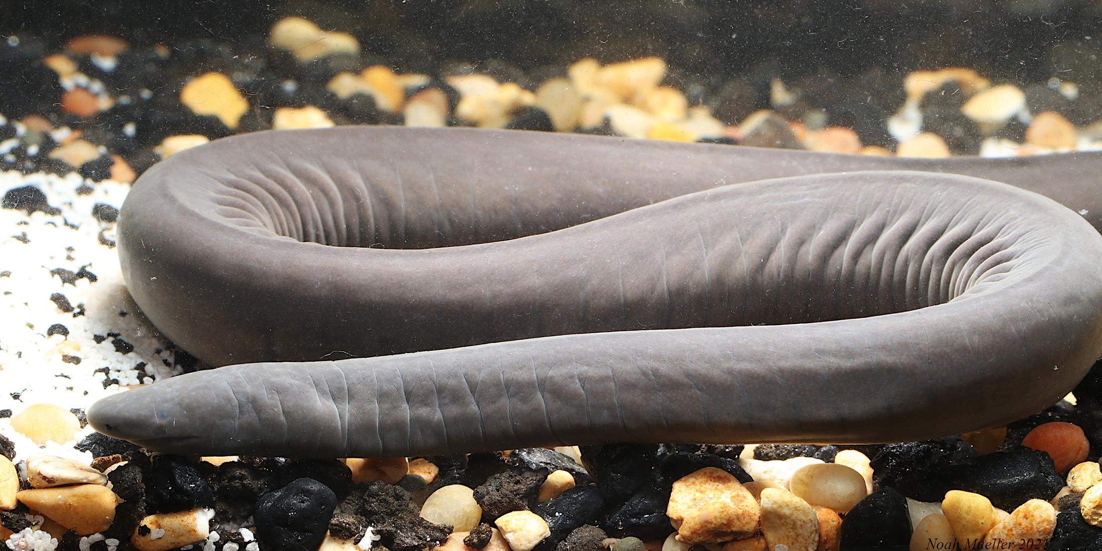 ▲▼佛羅里達發現俗稱陰莖蛇的動物caecilian。(圖/翻攝自floridamuseum)