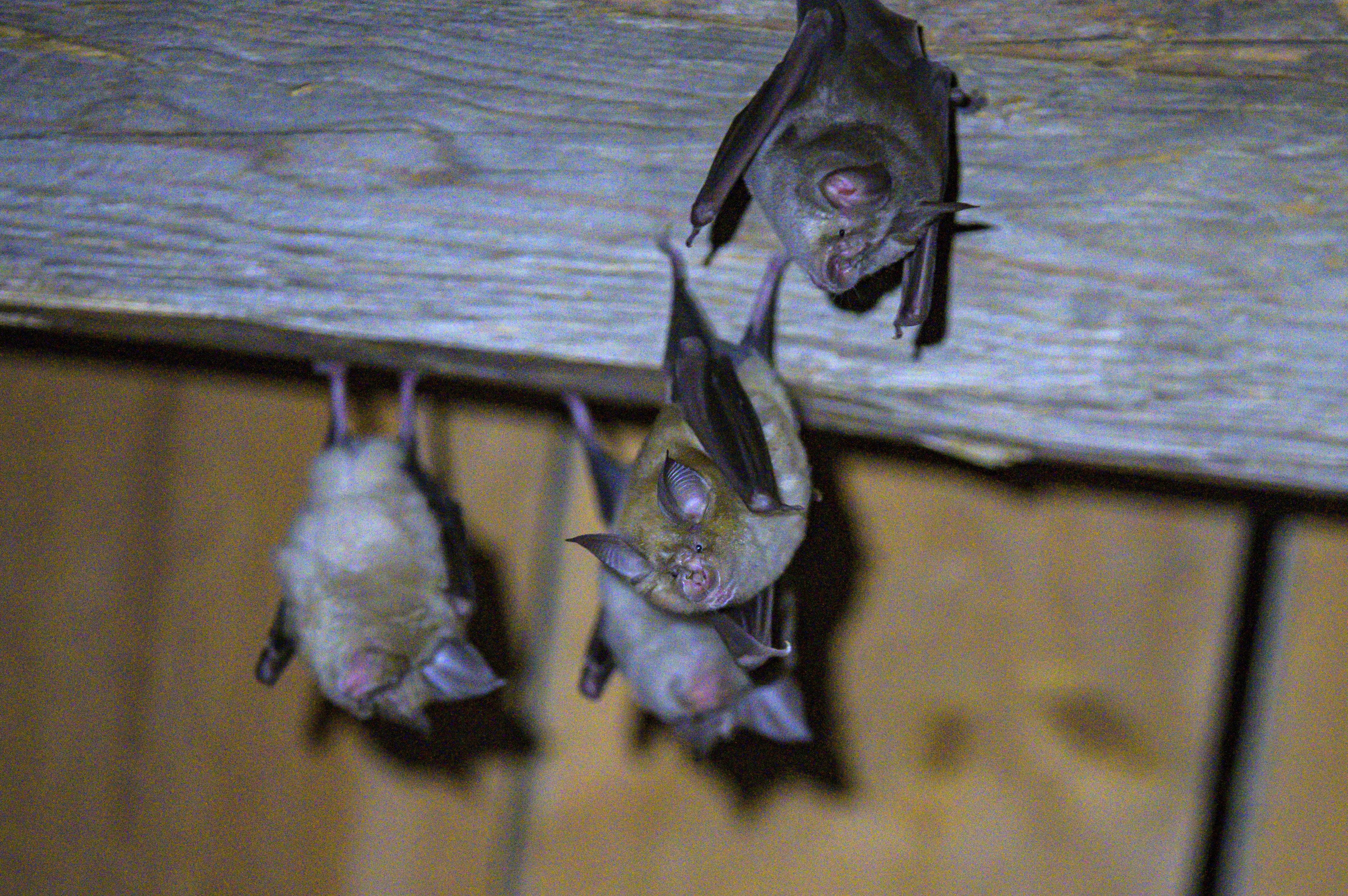 ▲▼法國科學家在寮國北部石灰岩洞發現,蹄鼻蝙蝠體內的3種冠狀病毒與人類所染的新冠病毒類似。(示意圖/達志影像/美聯社)