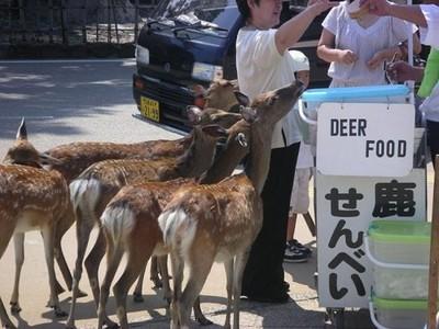 宮島鹿危機!禁止餵食快讓牠們餓死啦