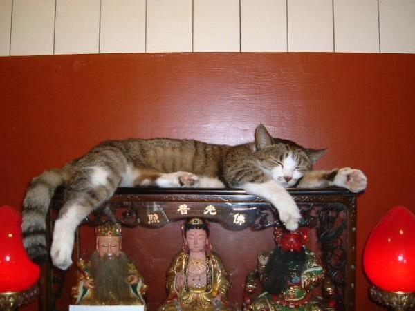 就愛睡在菩薩身邊 「神桌上的貓」大集合!