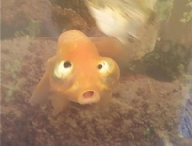 拿尼口哩?妹妹的金魚好像壞掉了!