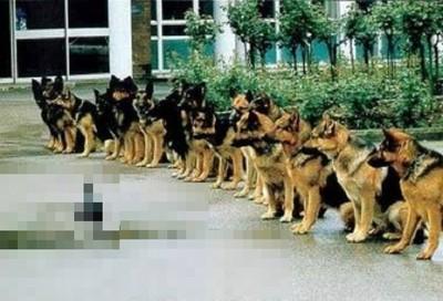 警犬考試最後一關?狗狗們要忍住壓..