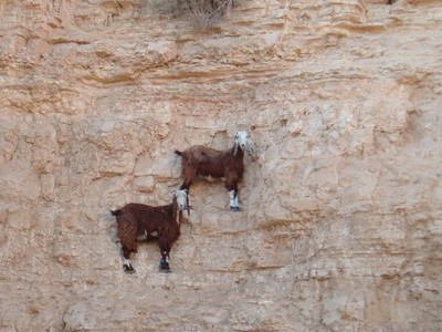 大落漆!其實山羊攀岩沒你想像中強