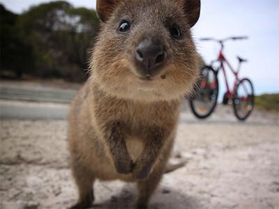 全世界最愛笑,短尾矮袋鼠快消失了..