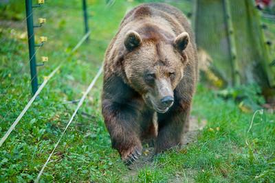 被巨熊獵殺前的最後掙扎,小鹿用慘叫訴說食物鏈