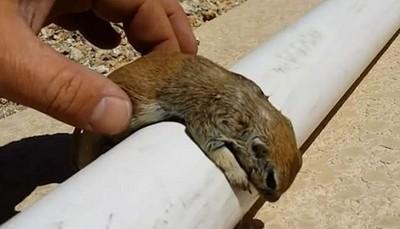 小松鼠差點溺死,還好救生員給牠CPR