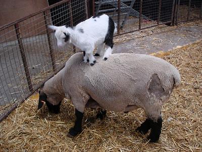 非要選一種死法,就讓我被小羊踩死吧