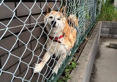 救命喔~鄰居柴犬被夾住了怎麼辦囧?