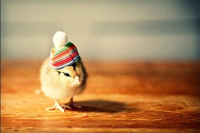 幫小雞戴毛帽 犯規可愛的迷你時尚❤