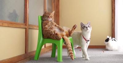 人模人樣,橘貓霸氣坐椅子上「度估」