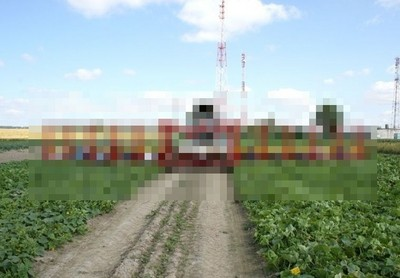 白俄採收小黃瓜的方式,會不會太霸氣