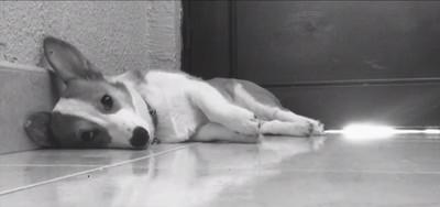 老婆剛出門上班,柯基犬立刻寂寞倒地