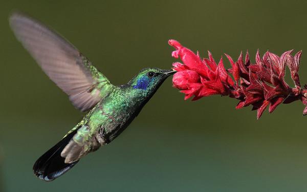 羽毛如寶石璀璨,近拍蜂鳥太令人沉醉