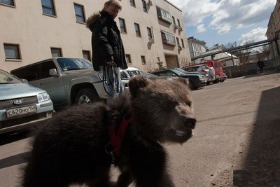 在俄羅斯,牽熊散步完全是日常風景