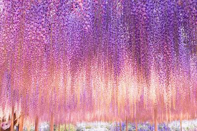 日本紫藤樹海,根本是夢境才有的美景