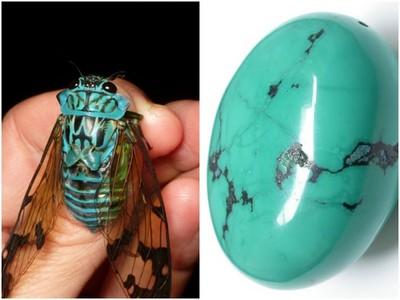 美麗嬌客──蟬界的綠松寶石Zammara