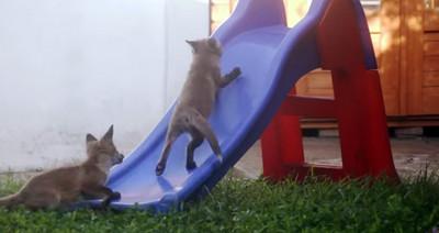 """小狐狸腳底太滑 爬不上溜滑梯>""""<"""
