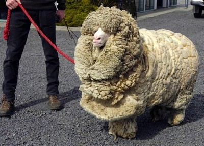 綿羊逃家六年沒理毛,變成別的生物啦