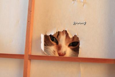 貓咪太愛日本紙門..我才剛換新的啊!