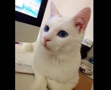 夢幻雪國來的藍眼貓,熟睡竟大翻白眼