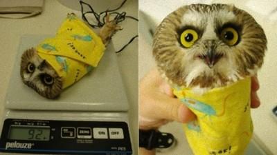 量體重時的貓頭鷹,變成可愛小捲餅