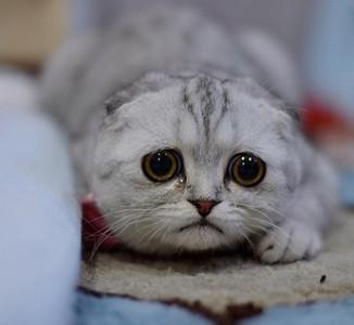 圓眼小貓一副絕望臉,好像隨時要噴淚