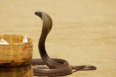 6秒砍蛇頭!鐮刀男手一揮蛇頭噴飛