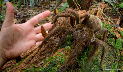 巨人食雀蛛跟小狗一樣大,媽我能養嗎