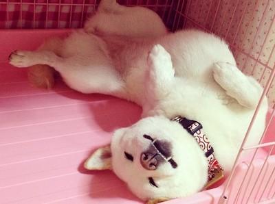 萌萌白柴電眼好融化,但睡姿卻超爆笑