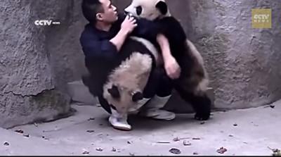 兩貓熊輪番搗蛋,飼育員的藥餵不完啦
