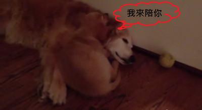黃金獵犬做惡夢,小狗狗貼心給呼呼❤