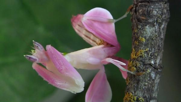 粉紅色的蘭花螳螂,綠葉上就露餡啦