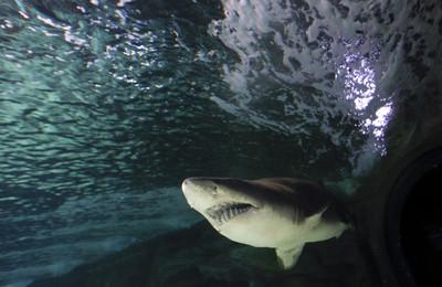 8歲男童捕314公斤虎鯊 創22年紀錄