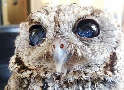 拯救盲眼貓頭鷹,才看見牠眼中的銀河