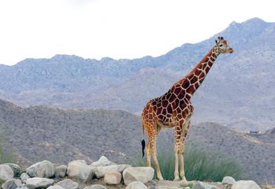 2種長頸鹿剩4000隻首度列「極危」