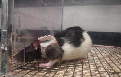 實驗雌鼠穿性感內衣,雄鼠興奮狂嘟牠